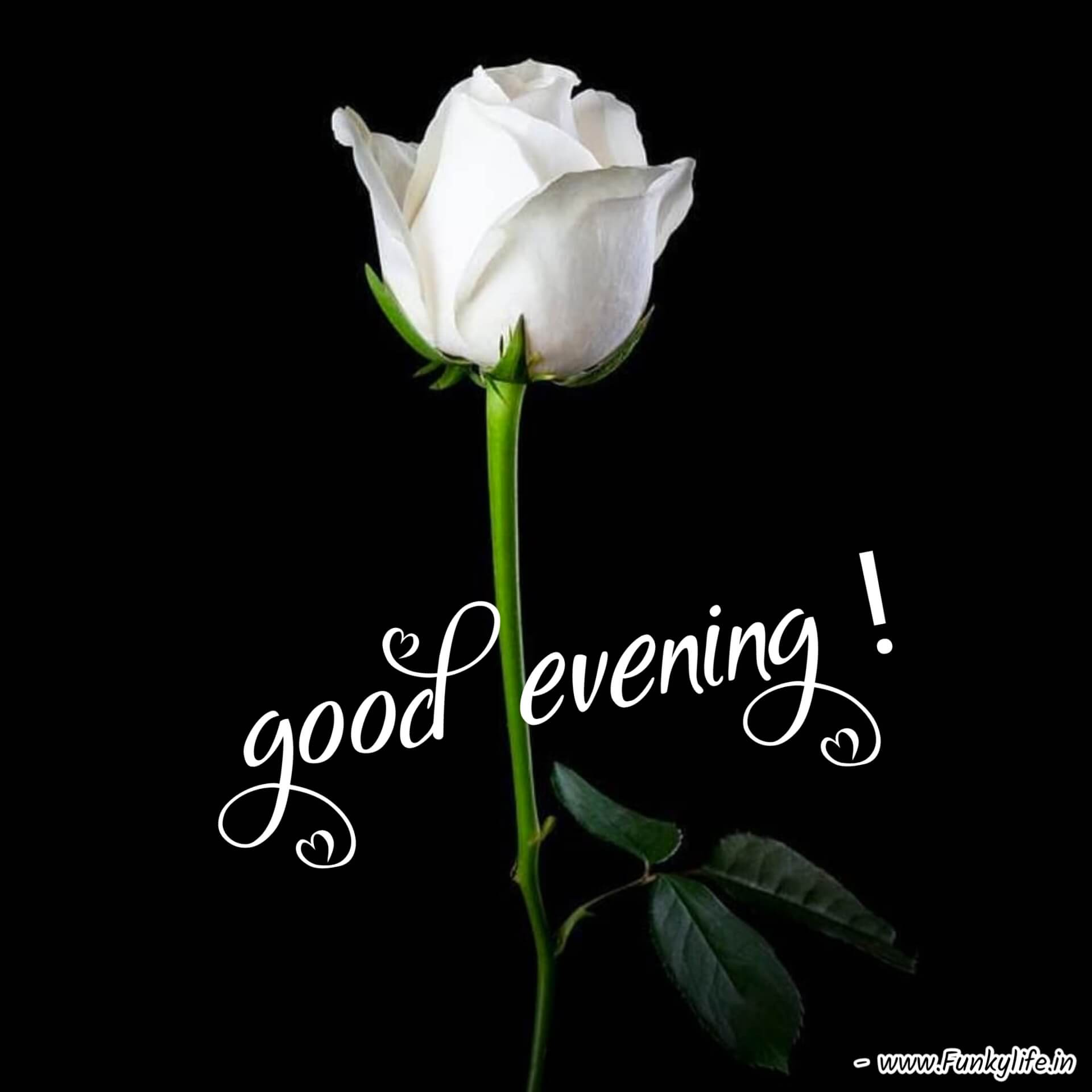 Beautiful White Flower Good Evening Images